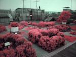 赤外線写真 (infrared Photography) : 国立科学博物館 屋上ハーブ園