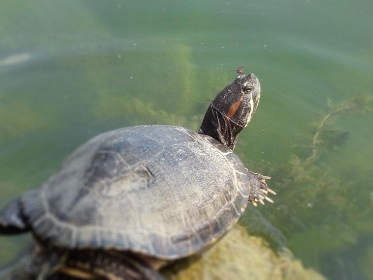 大濠公園で日を浴びる亀